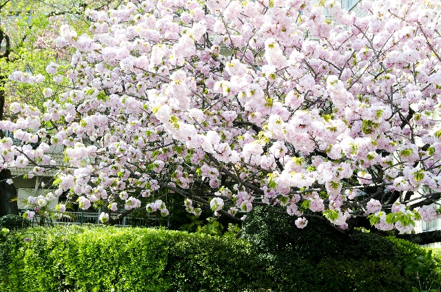遅咲き 八重桜