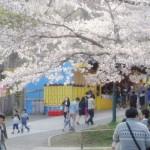 都内の桜の名所!小金井公園の桜まつり2016は4月2日と3日