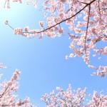 小金井公園で花見の混雑と場所取りや駐車場やゴミについて
