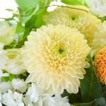 敬老の日に菊の花はNG? 長寿の菊がお祝いにタブーな理由
