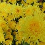 重陽の節句とは 縁起が良い菊のパワーで不老長寿と若返りを祈願!