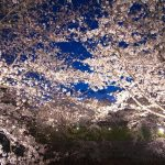 小金井公園桜まつり2018に期待!夜桜ライトアップや混雑の感想2017